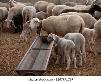 A flock of sheep, lambs and rams on a farm feeding