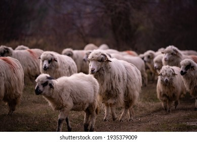 flock of sheep, lambs and rams on the road. farm animals on the hill
