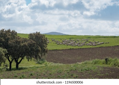 Flock of sheep in the meadow of Extremadura. Spain