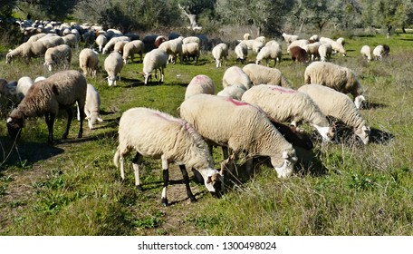 A flock of sheep in a meadow in Spring