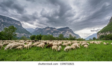 Flock of sheep in the meadow. Trentino Alto Adige, northern Italy, Europe. Ovis aries.