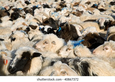 flock of sheep mixed with goats in a fenced pen