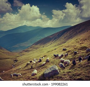 Flock of sheep  in the mountains. Retro style.