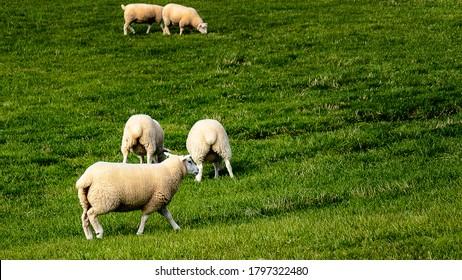 Flock of sheep on beautiful green grass mountain meadow in Ireland