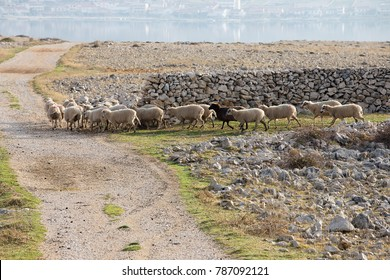 Flock Of Sheep on desert pasture going away, long-tailed sheep, island Pag, Croatia, paski sir, Pag cheese, sheep cheese, agriculture, bio food, eco farms