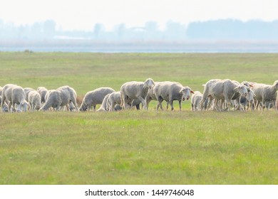 Flock of sheep, sheep on field