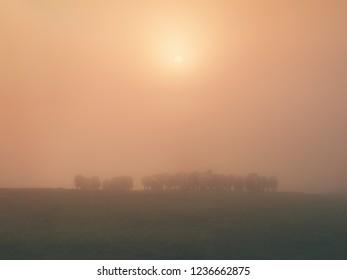 flock of sheep on foggy morning