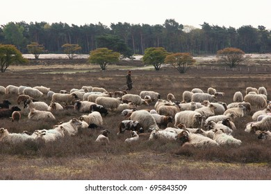 Flock of sheep on the Moor herded by sheep dogs