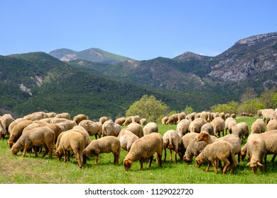 Flock of sheep on pasture, Alpes de Haute Provence, Verdon Gorges, France.