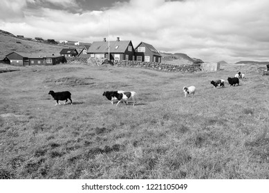 Flock of sheep on pasture in Torshavn, Denmark. Domestic sheep on green grass in village. Beautiful landscape view. Animal life on farm. Livestock. Summer vacation on farm.