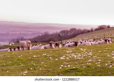 Flock of sheep on the South Downs in early morning light