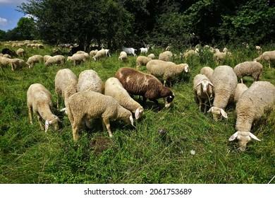 Flock of sheep on the Swabian Alb, germany