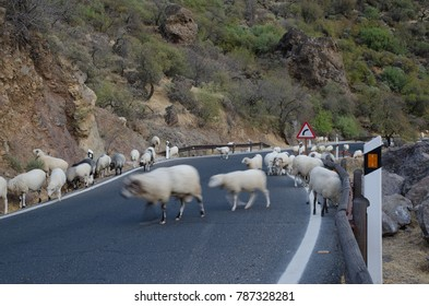 Flock of sheep (Ovis aries) on the road. The Nublo Rural Park. Tejeda. Gran Canaria. Canary Islands. Spain.