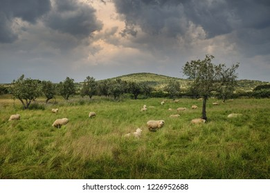 Flock of sheep pasturing in the countryside under a cloudy sky