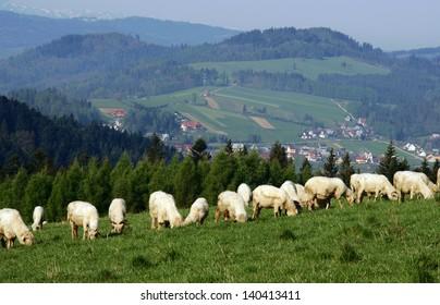 flock of sheep in Pieniny mountains, Poland
