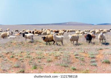 Flock of sheep in semi-desert