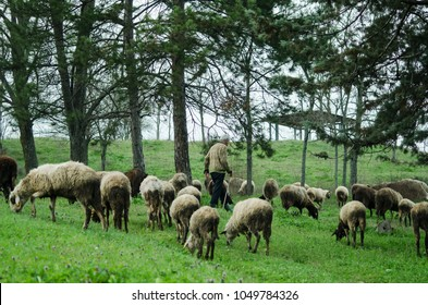Flock of sheep with shepherd in the forest