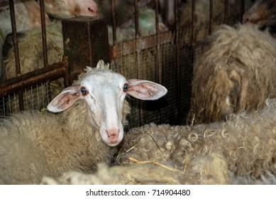 A flock of sheep in a ship