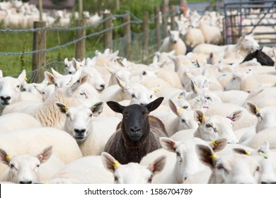 Flock Of Sheep With Single Black Sheep In Centre Of Frame