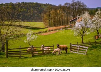 Flock of sheep in spring meadow.Western Serbia in April .