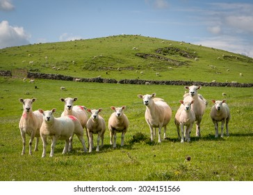 A flock of sheep stare at the photographer on the hillsides above Ilam in the Peak District