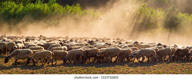 A flock of sheep at sunset
