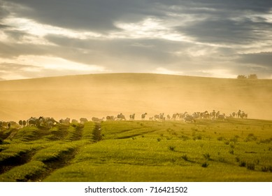 The flock of sheep under the setting sun in Mongolia