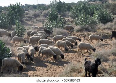 Flock of sheep walking in the desert