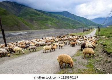 A flock of sheep walking on the road between Quba and Khinalug (Xinaliq), Azerbaijan