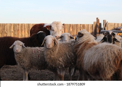 Flock of Sheep and Young Cow Calf on Farmland Grazing and Curiously Looking at Camera while Eating Hay in Winter. Fluffy Wool Funny Livestock Group of Animals in Village