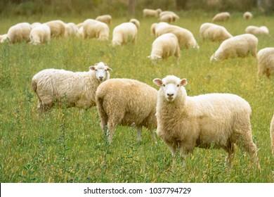 Flock of sheeps grazing in green farm in New Zealand with warm sunlight effect.