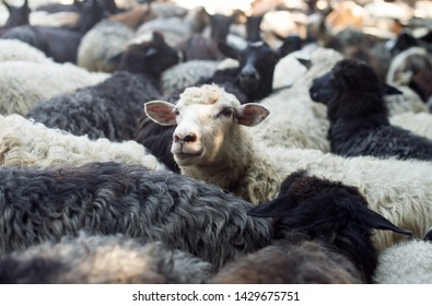 A flock of sheeps. Sheep head. Stands out from the herd