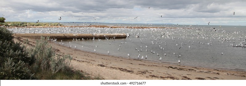 A flock of Silver Gulls at Ricketts Point Marine Sanctuary, Beaumaris, Australia.