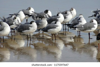 A flock of small ring-billed seagulls with their beaks tucked in their bodies to stay warm, in Daytona Beach Shores Florida in February.
