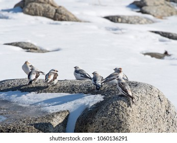 Flock of snow buntings on rocks in Southeast Alaska on a rest stop during migration to the Arctic for the summer.