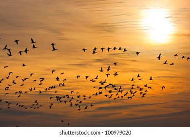 Flock of snow geese (Chen caerulescens) flying