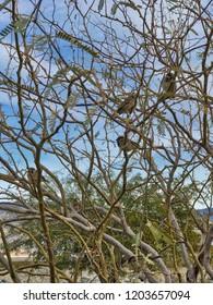 A flock of sparrowa on a bush in a desert