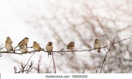Flock of sparrows perched on a branch in the winter singing to themselves; Group of small birds sitting in a row on a branch
