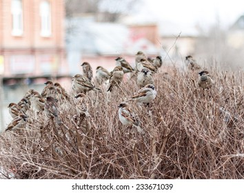 A flock of sparrows sitting on the branches of a Bush in late autumn