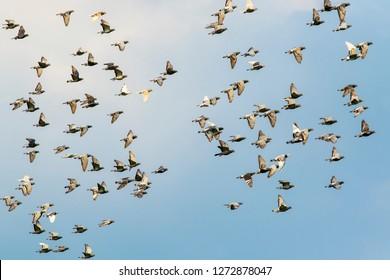 flock of speed racing pigeon bird flying against clear blue sky