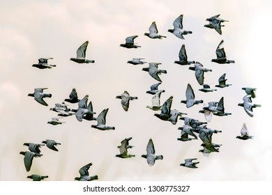 flock of speed racing pigeon bird flying against clear white sky