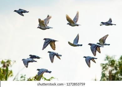 flock of speed racing pigeon brid flying