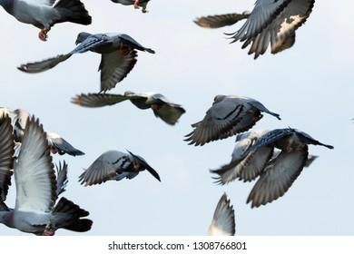flock of speed racing pigeon flying mid air