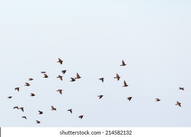 Flock of starlings flying in the sky