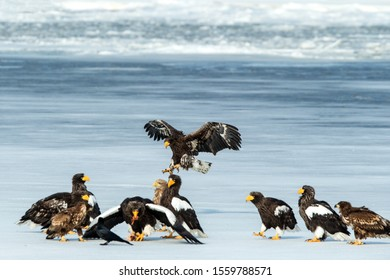Flock of Steller's sea eagles and white-tailed eagles fighting over fish on frozen lake, Hokkaido, Japan, majestic sea raptors with big claws and beaks, wildlife scene from nature,birding adventure in