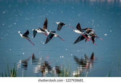 Flock of stilts with reflecrion taking flight in Kenya