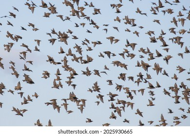 Flock of Sturnus vulgaris or starling birds flying in group together to avoid predation