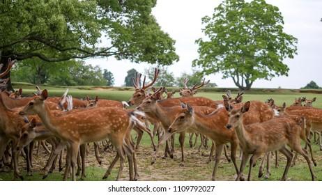 Flock of  summer fur deer moving on the short  green grass field