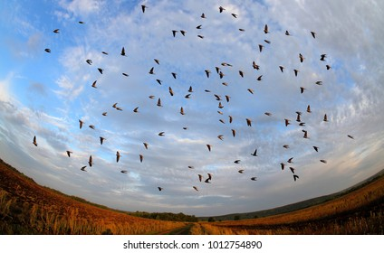 a flock of swallow birds migrates in autumn to warm countries against the backdrop of the morning sky and light clouds illuminated by the sun