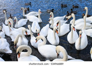 A Flock of Swan in the River Thames